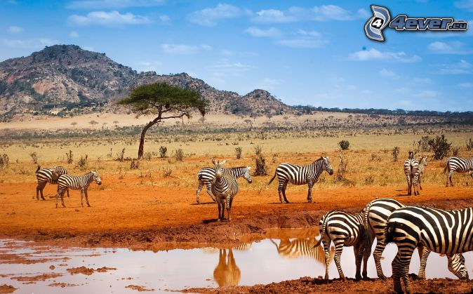 zebras, fen, hill, safari