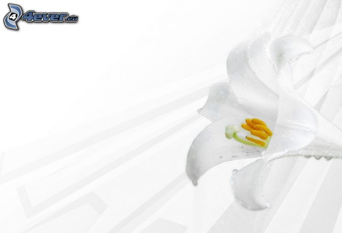 lily, white flower
