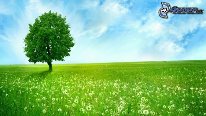 lonely tree, meadow, flowering dandelion