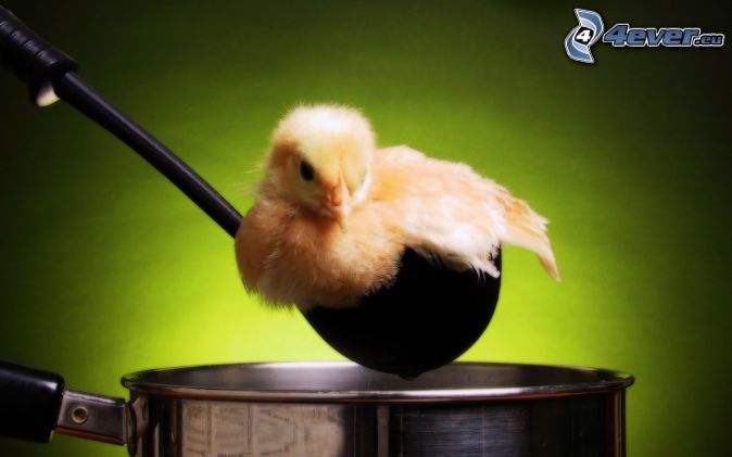 chick, scoop, pot