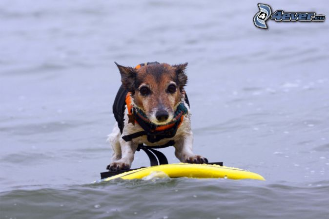 dog, surfing