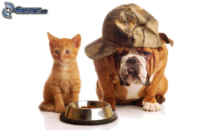 dog and cat, brown kitten, English bulldog, cap, bowl, food