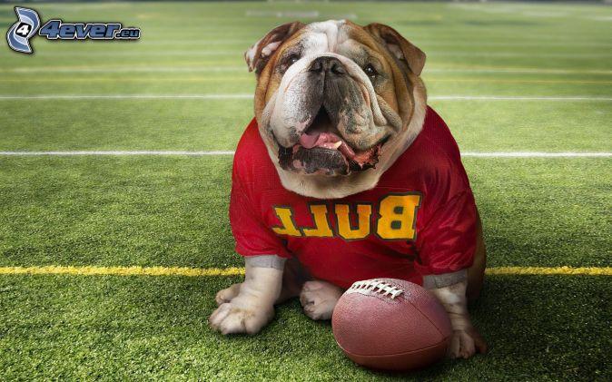 English bulldog, hockey sweater, ball, football field