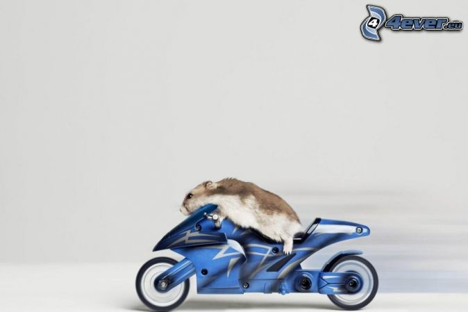 hamster, motocycle
