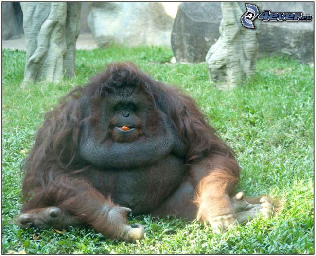 Orangutan Fat Monkey Wallpaper