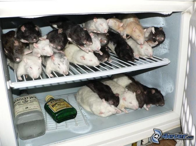 Rats in fridge