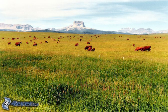 Chief Mountain, cow, meadow