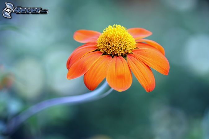 Echinacea, orange flower