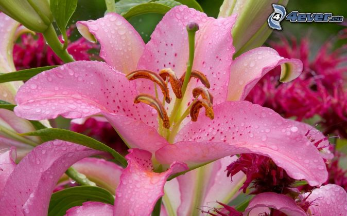 lily, pink flowers