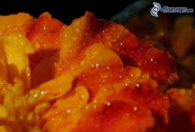 orange flower, drops of water