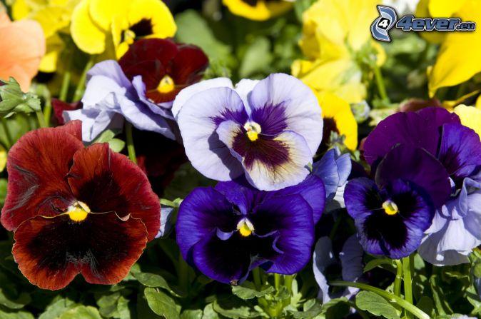 pansies, blue flowers, red flowers, yellow flowers