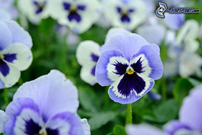 pansies, blue flowers