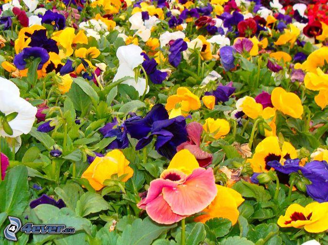 pansies, colored flowers, green leaves