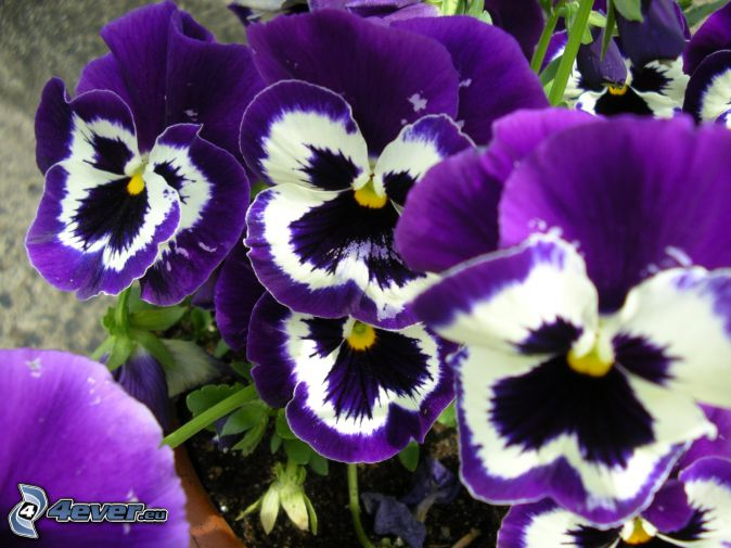 pansies, purple flowers