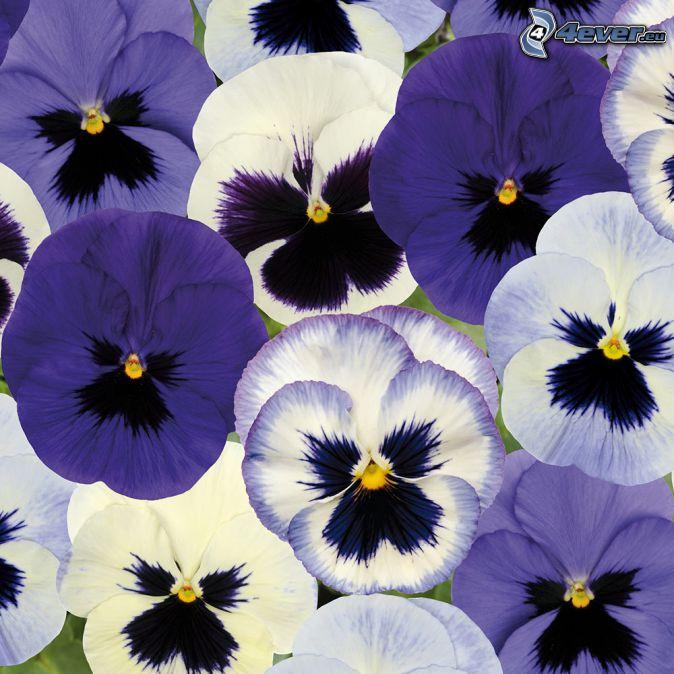 pansies, white flowers, purple flowers