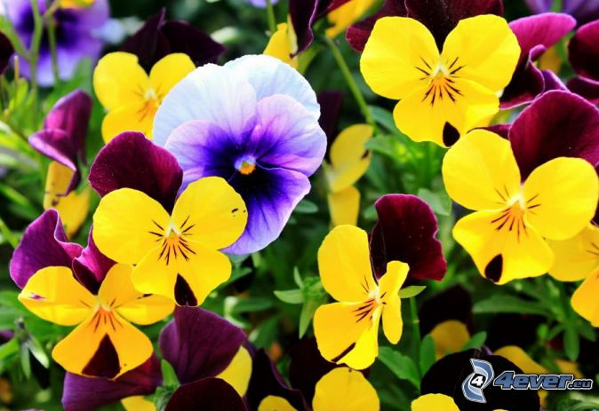 pansies, white flowers, yellow flowers, purple flowers
