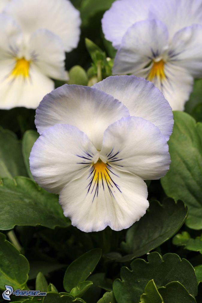 pansies, white flowers