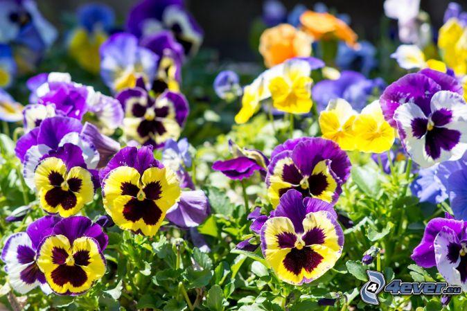 pansies, yellow flowers, purple flowers, blue flowers