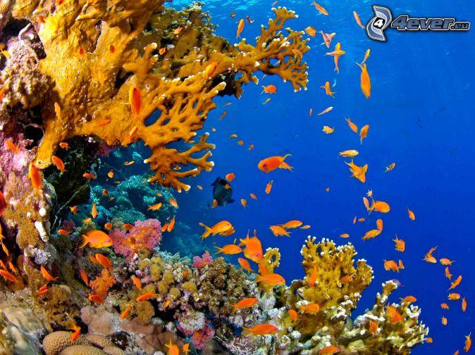 corals, coral reef fish