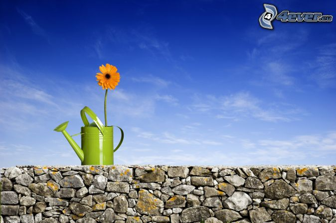 watering-can, stone wall, orange flower