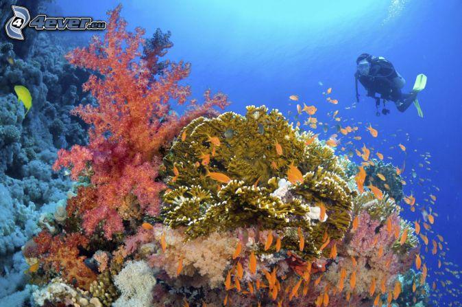 diver, corals, shoal of fish