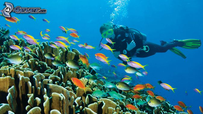 diver, shoal of fish, corals