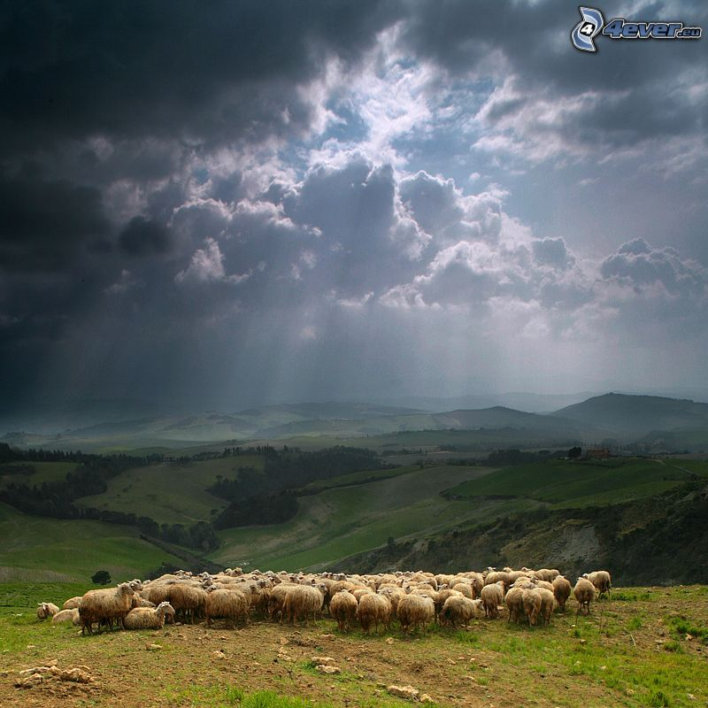 a flock of sheep, clouds, sunbeams, forests and meadows