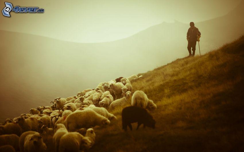 a flock of sheep, shepherd