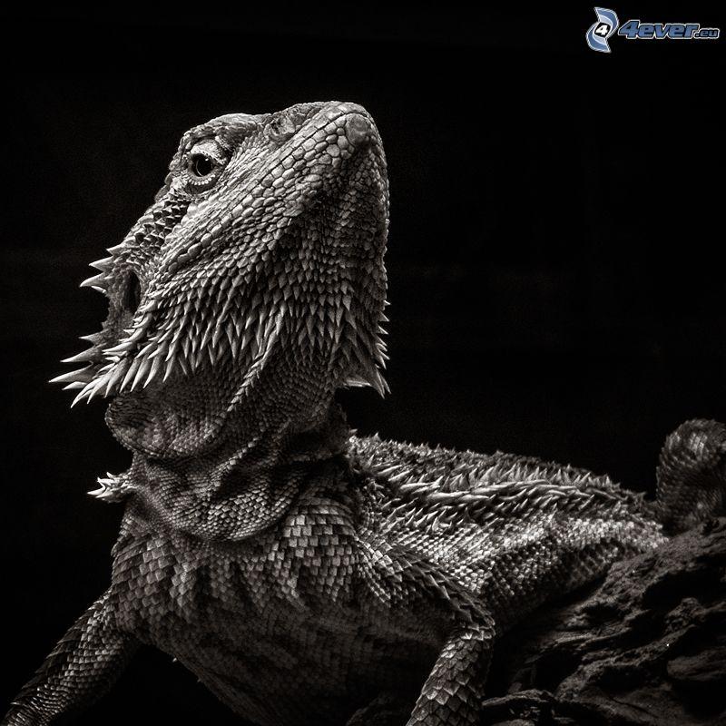 Agama, black and white photo