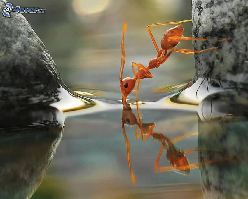 ant, water surface, reflection