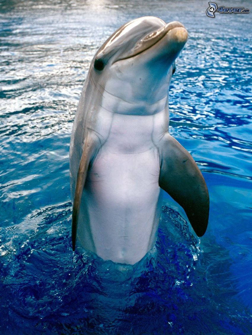 dolphin, water