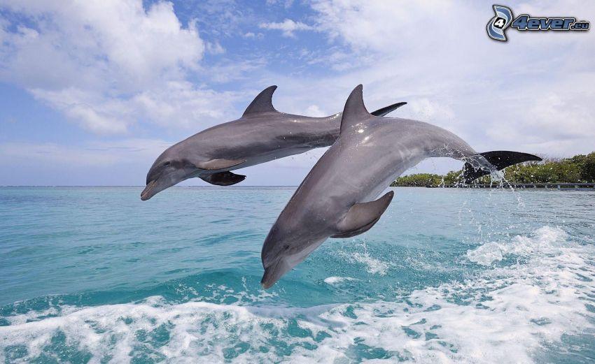 dolphins, jump, azure sea