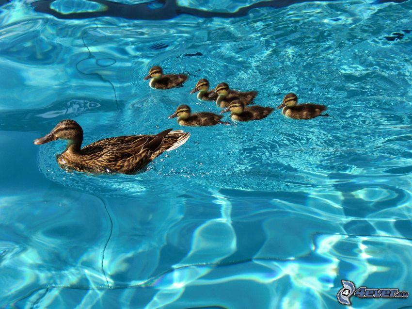 ducks, cubs