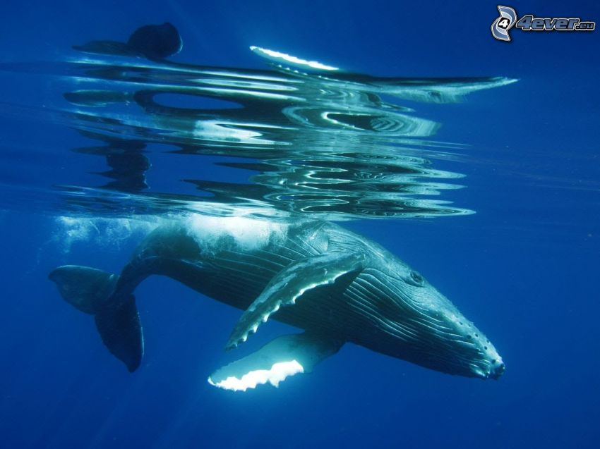 humpback whale, water surface