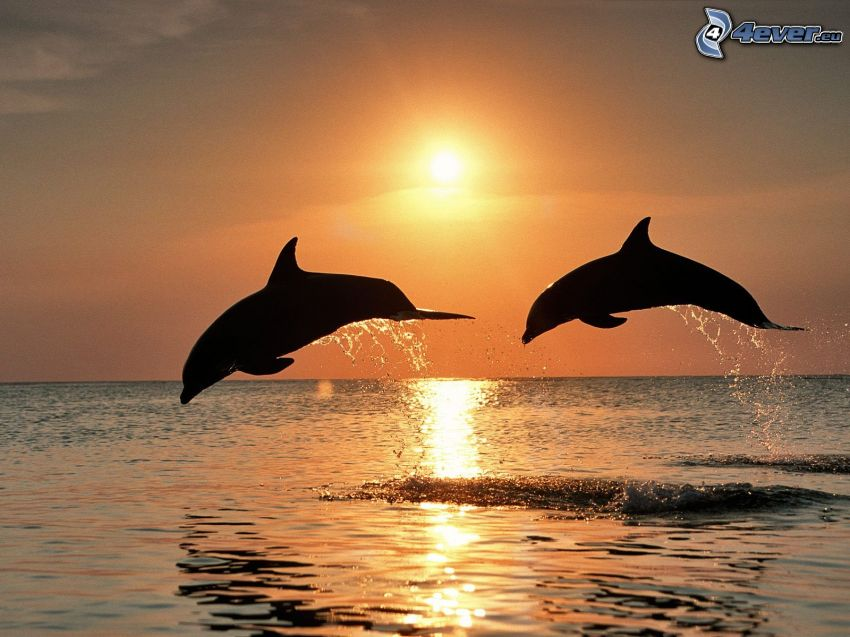 jumping dolphins, sunset over the sea
