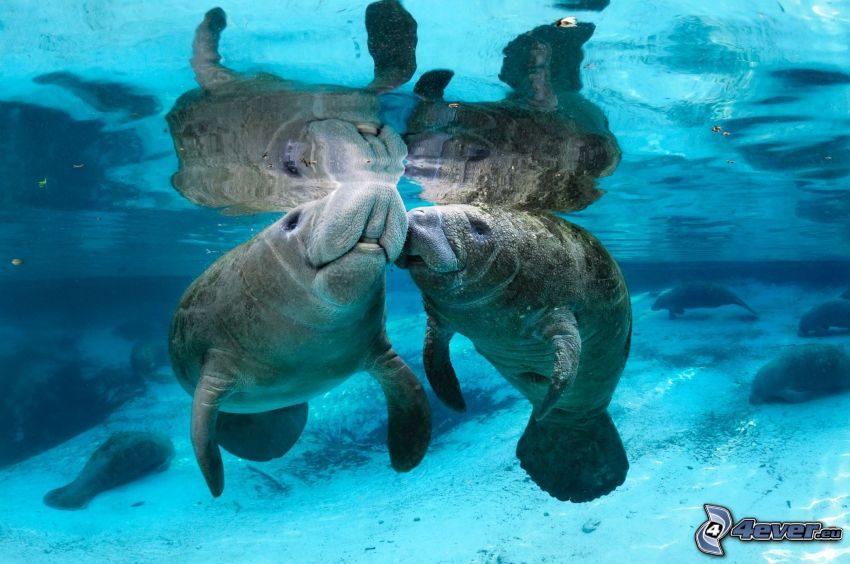 Manatees, kiss, reflection
