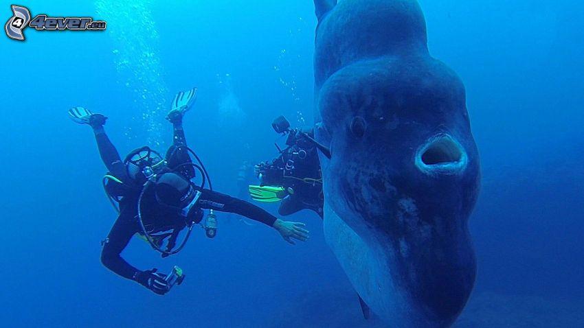 ocean sunfish, divers