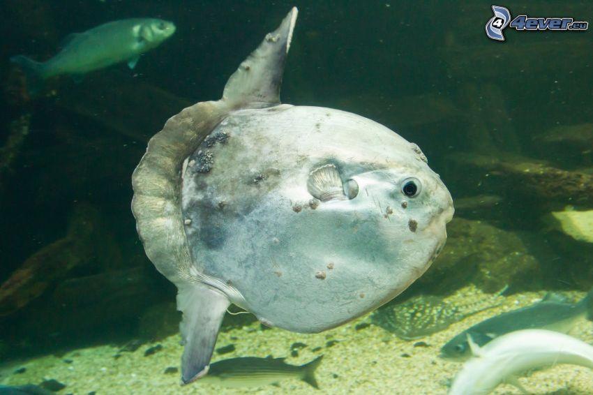 ocean sunfish, fish