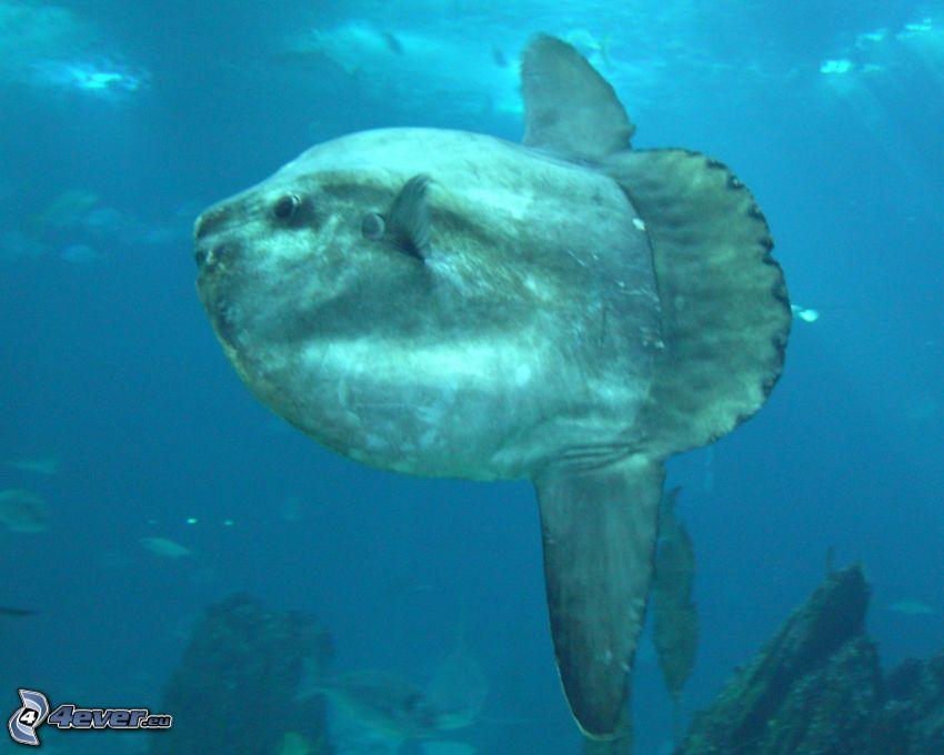 ocean sunfish, rocks