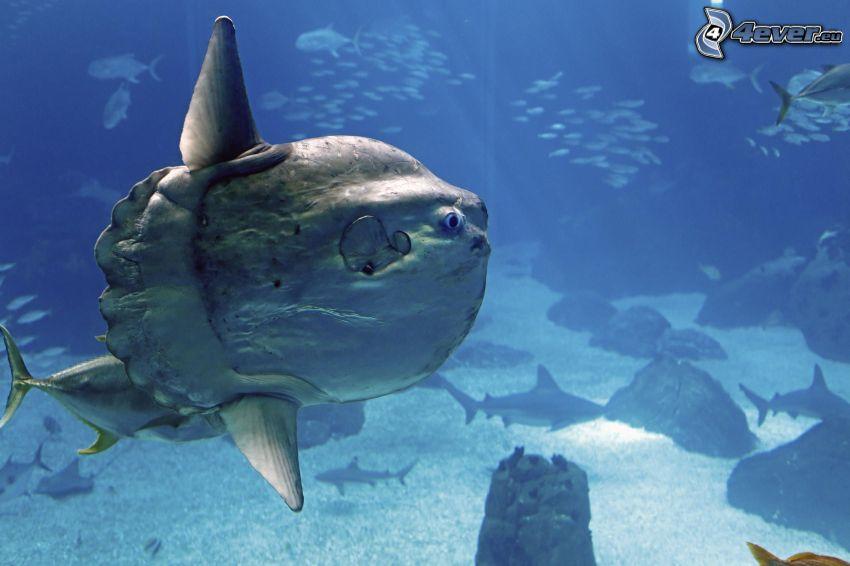 ocean sunfish, shoal of fish