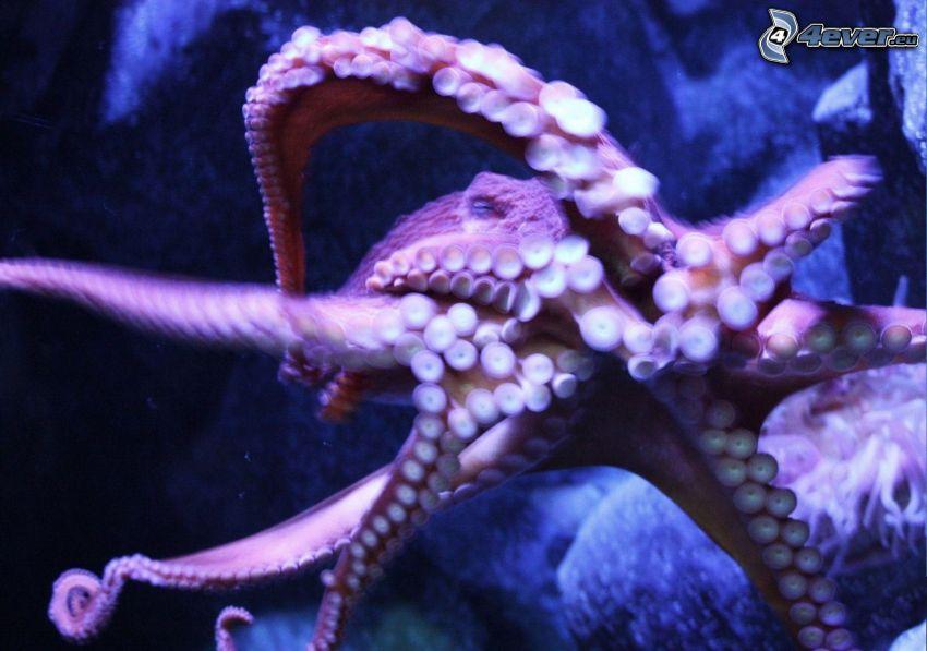octopus, tentacles