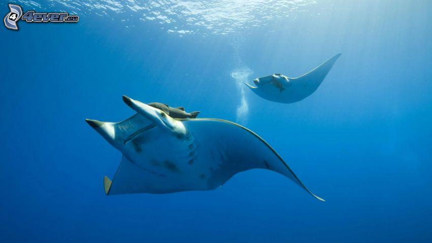 rays, sea