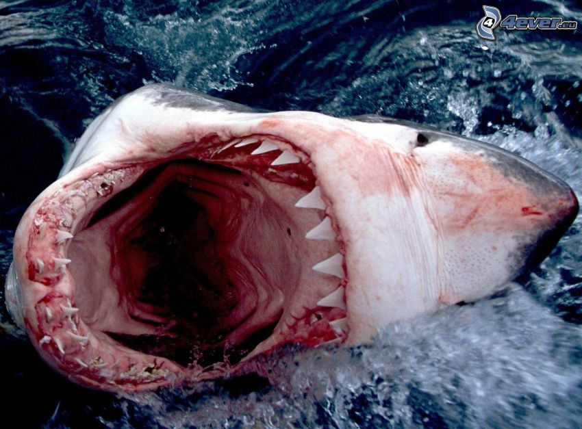 shark, muzzle, teeth, water