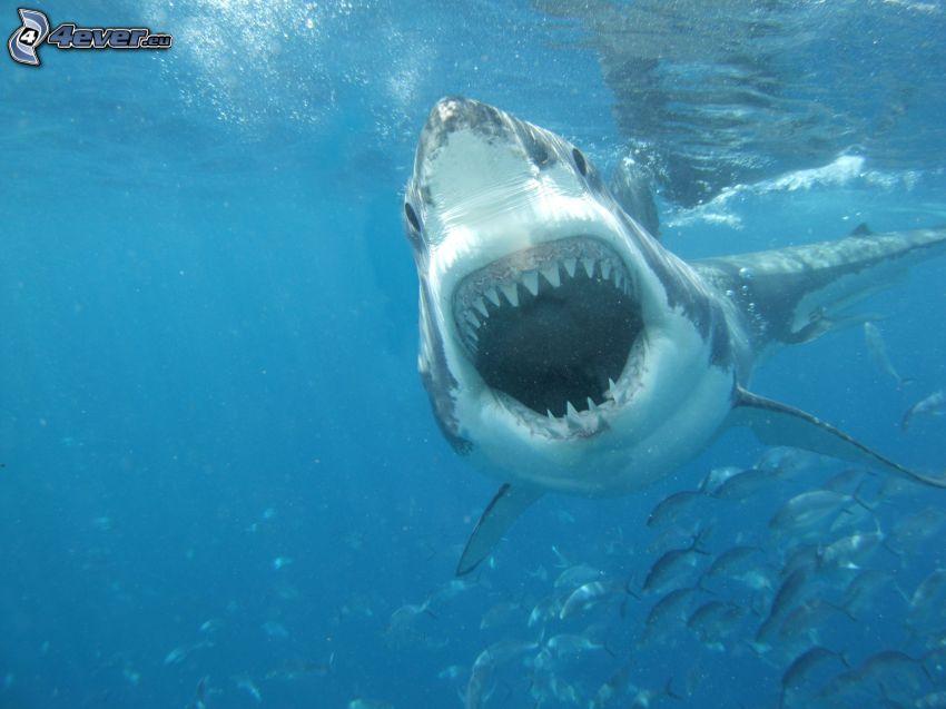 shark, teeth, water