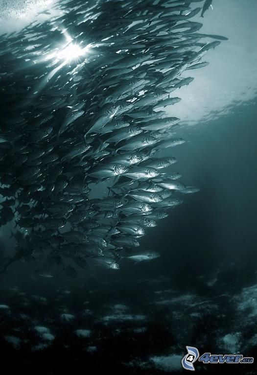 shoal of fish, sunbeams, black and white