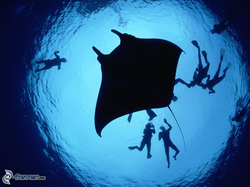 stingray, divers, silhouette