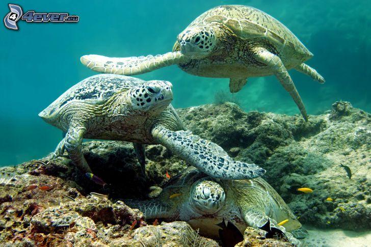 turtles, swimming underwater