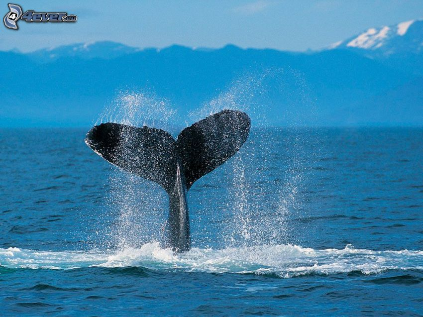 whale tail, sea, mountain