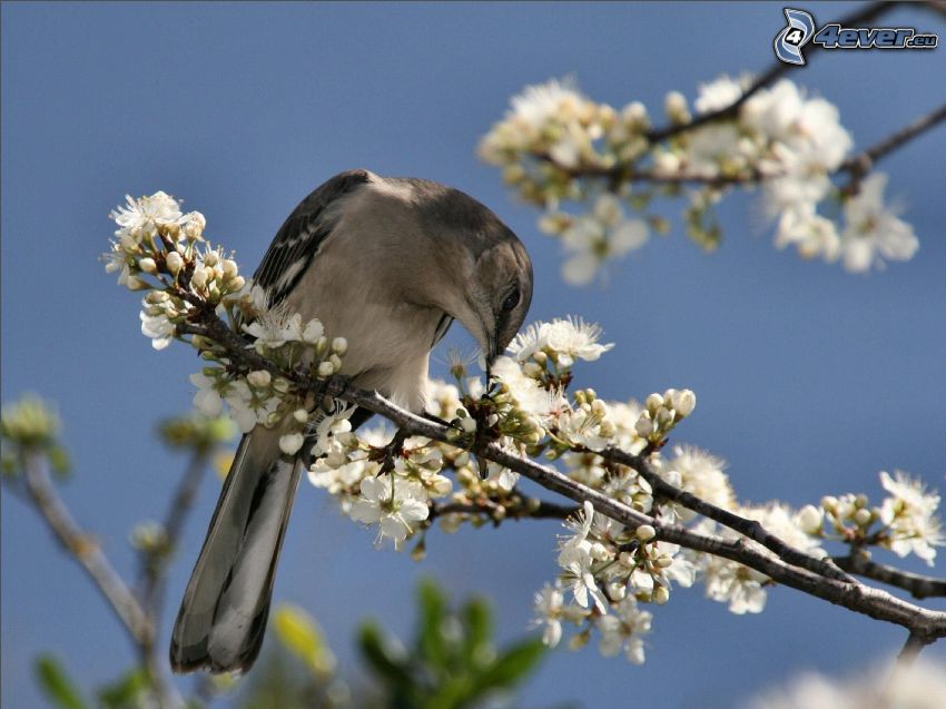 bird on a branch, flowering twig