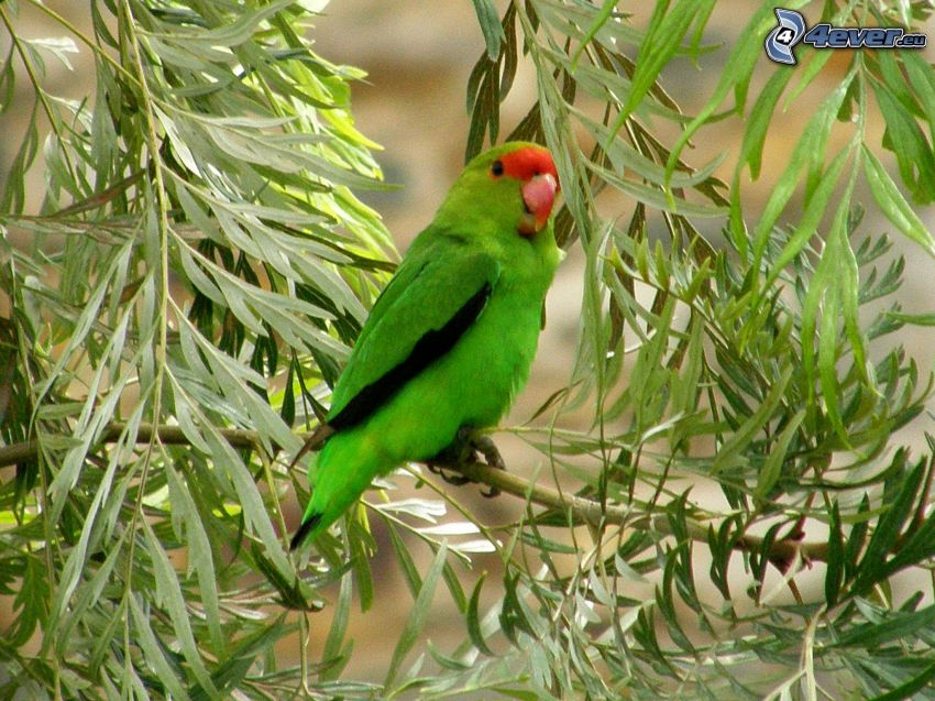 Agapornis, green leaves